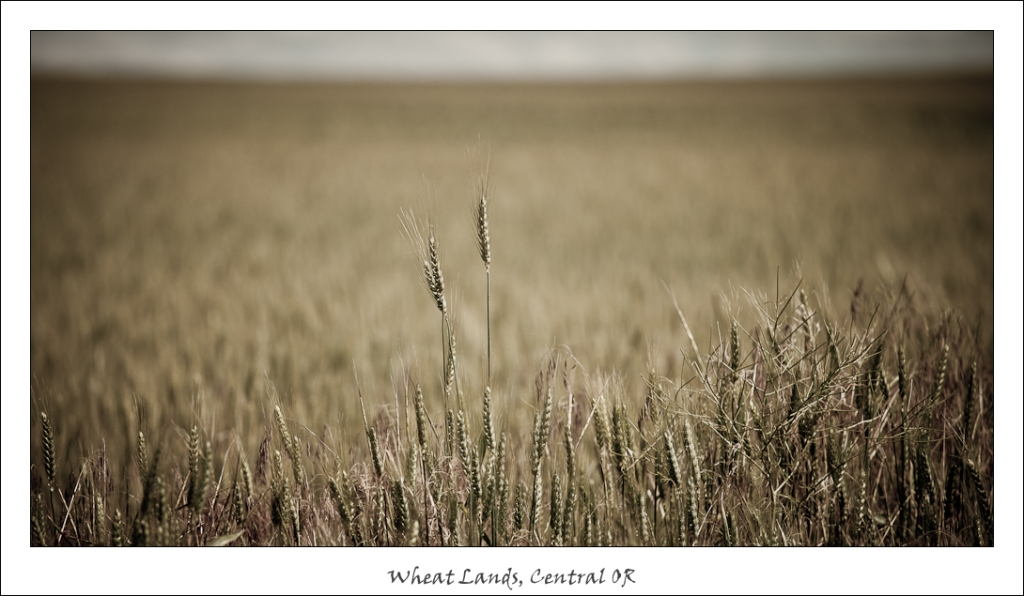 WheatFields#1