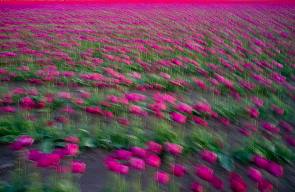 Tulips_2013